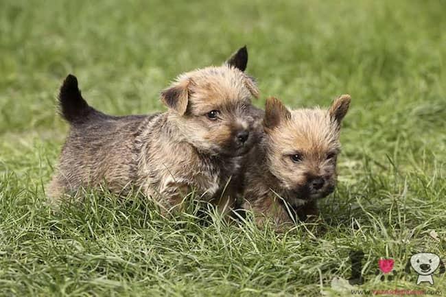 zwei Norwich-Terrier-Welpen