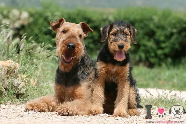 zwei-erwachsene-hunde-der-rasse-airedale-terrier
