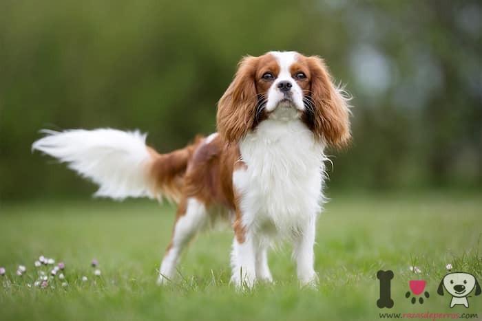 Englischer Cavalier King Charles Spaniel Hund