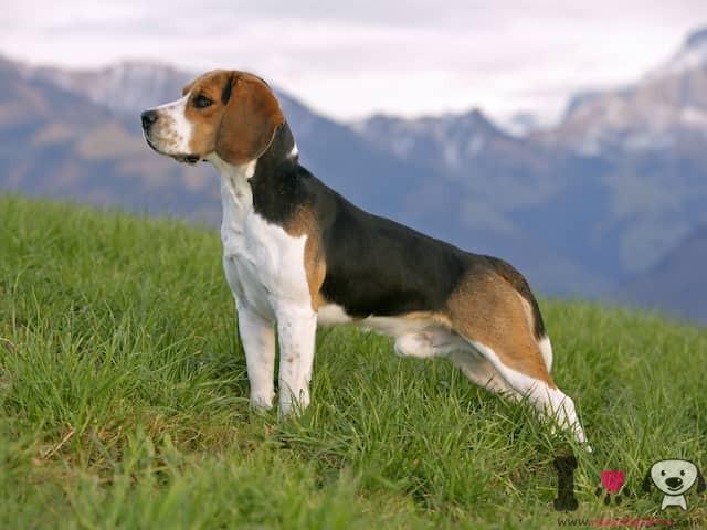 Hund der Beagle-Rasse im Feld