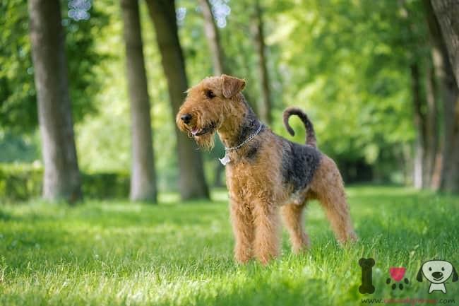 Rasse-englisch-Airedale-Terrier
