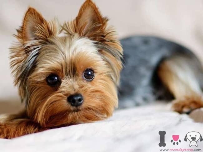 Yorkshire-Terrier-Männchen mit einem Gewicht von 2 kg