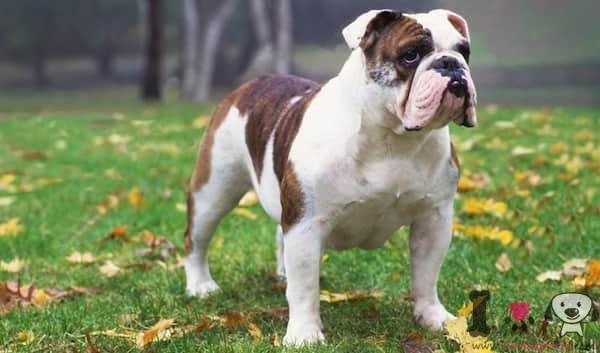 white and brown english bulldog